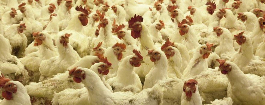 Image of a poultry farm