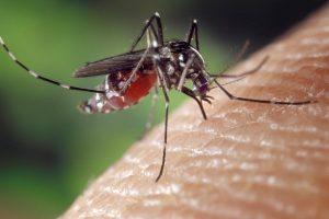 Zika Mosquito - C. Wenham video
